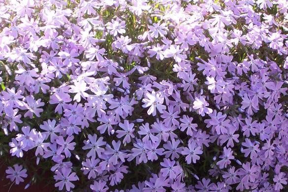 spring-beauty-topixpikevilleky