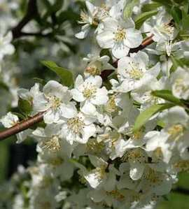 spring-blossom-from-web
